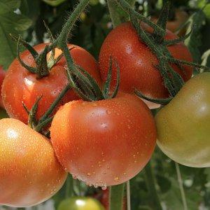 [농할쿠폰20%] 때깔찬 찰토마토 완숙토마토 5kg