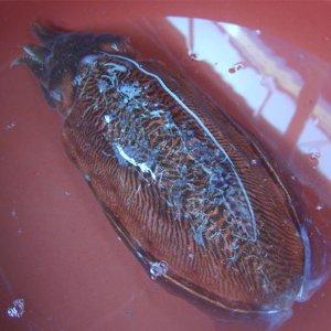 [수산쿠폰20%] 생물 손질 갑오징어 3마리500g / 꼬마통갑오징어1kg