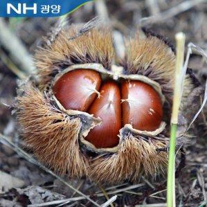 [농할쿠폰20%] 2020년 광양진상농협 공동선별 햇밤 2kg(중 대 특)