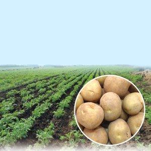 [농할쿠폰20%] 21년 제주 구좌 햇 감자 10kg