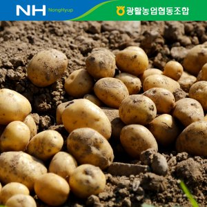 [농할쿠폰20%]  김제 광활 수미햇감자5kg