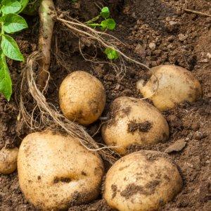 [농할쿠폰20%] [농사랑]정완농원 유기농 감자