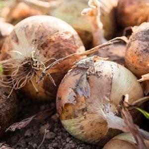 [농할쿠폰20%] 황토밭 무안 와송품은 양파 5kg 중대 산지배송